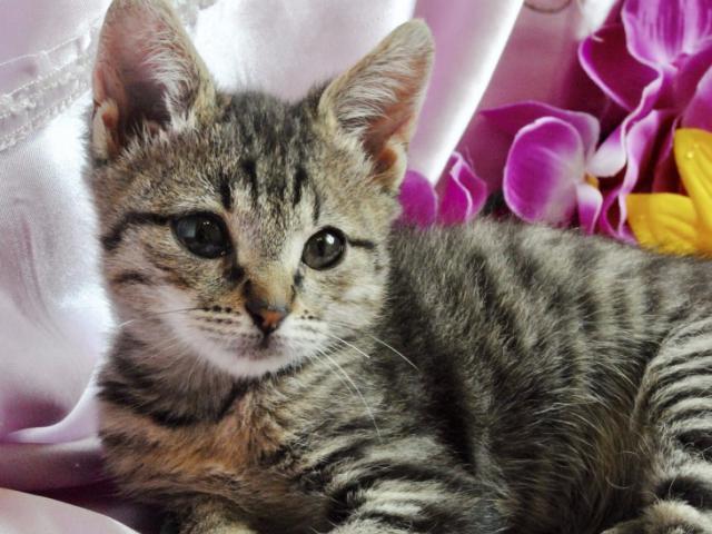 Отдам в дар: Нежный и милый котёнок ищет дом и самых лучших род фото2