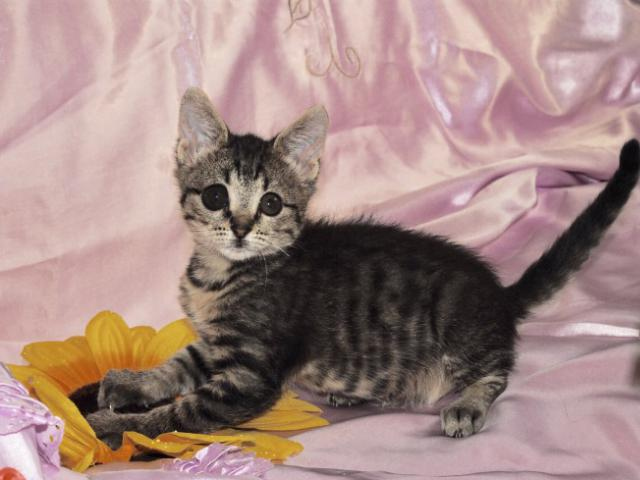 Отдам в дар: Нежный и милый котёнок ищет дом и самых лучших род фото3