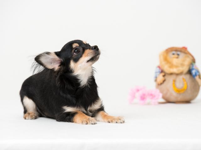 Продаю: тся щенки чихуа фото2