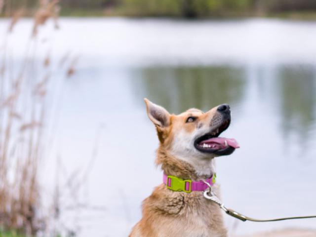 Отдам в дар: Чудесная собака Сенди в добрые руки фото3