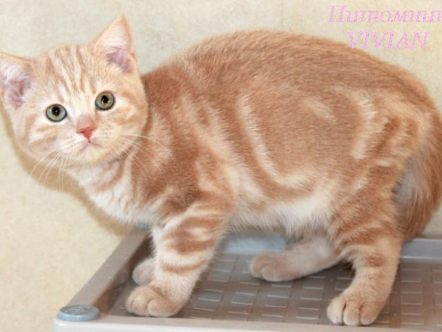 Продаю: Британские котята персиковый мрамор из питомника фото2