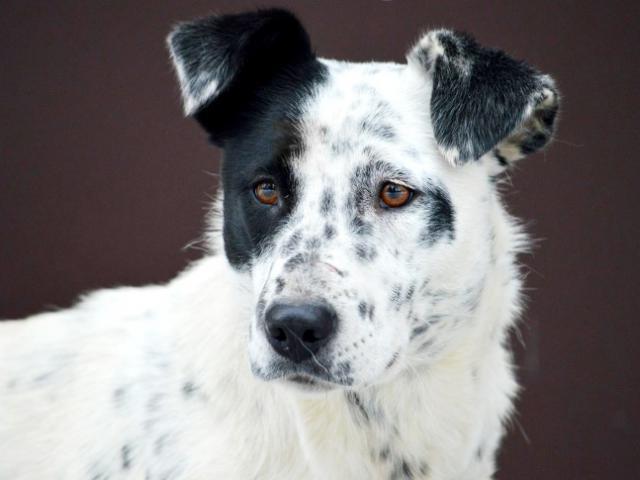 Отдам в дар: В добрые ответственные руки отдаётся собака Джесс фото2