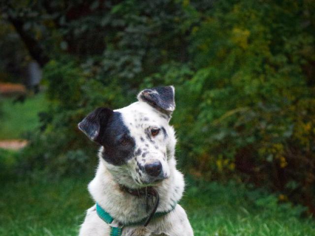 Отдам в дар: В добрые ответственные руки отдаётся собака Джесс фото3
