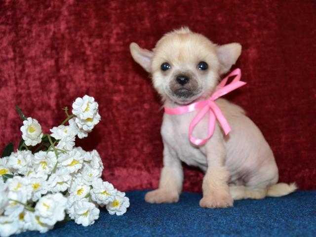 Продаю: щенки китайской хохлатой собачки фото2