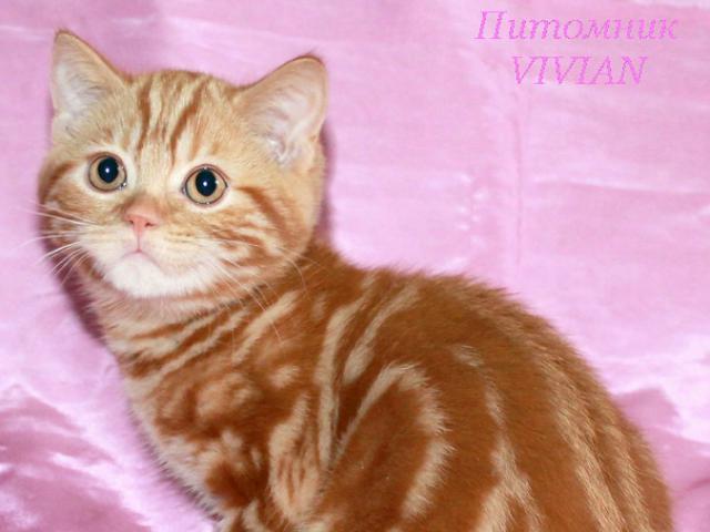 Продаю: Британские рыжие котята из питомника