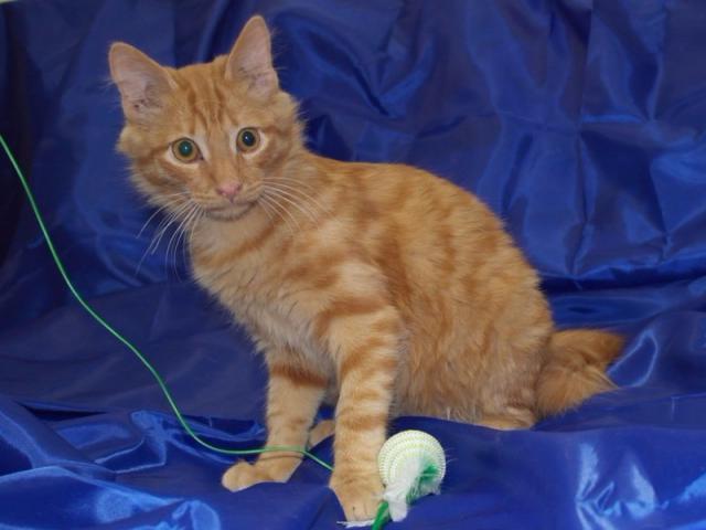 Отдам в дар: Общительный и активный котенок Пусик в поисках сем