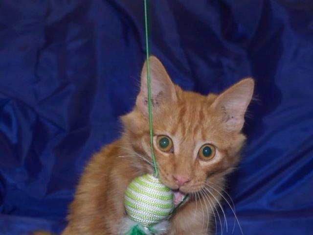 Отдам в дар: Общительный и активный котенок Пусик в поисках сем фото2