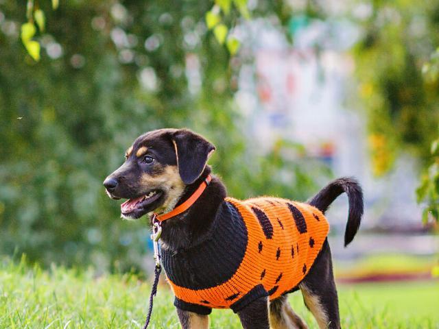 Отдам в дар: Ищет дом отважный щенок Робин