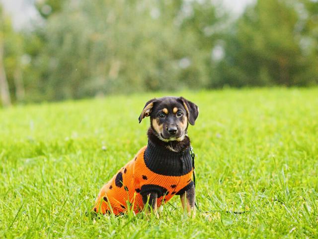 Отдам в дар: Ищет дом отважный щенок Робин  фото2