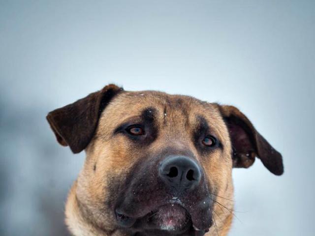 Отдам в дар: Молодой пес Арман ищет дом фото2