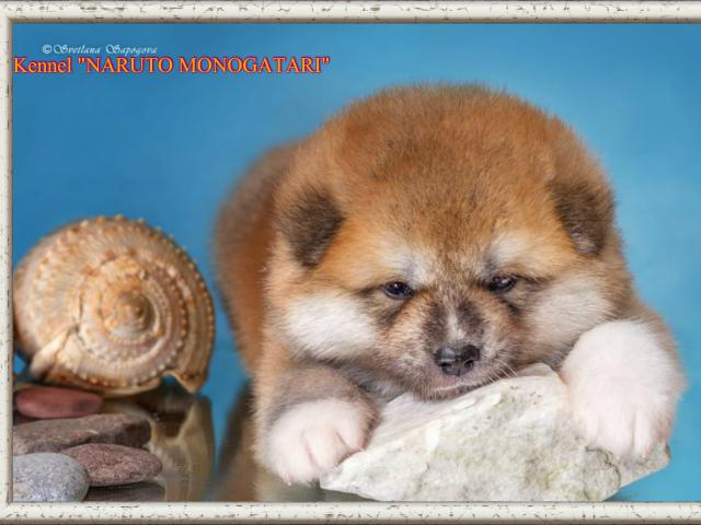 Продаю: японские щеночки акита-ину