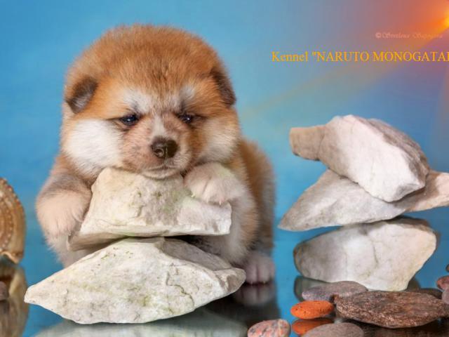 Продаю: японские щеночки акита-ину фото2