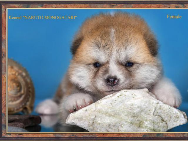 Продаю: японские щеночки акита-ину фото3