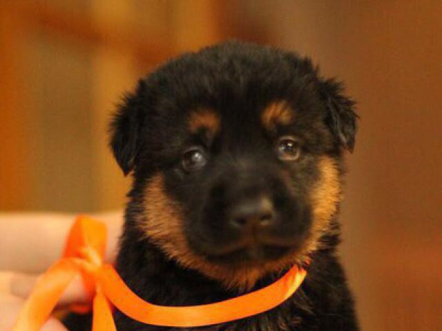 Отдам в дар: Ищем добрые ручки для очаровательных щенков фото3