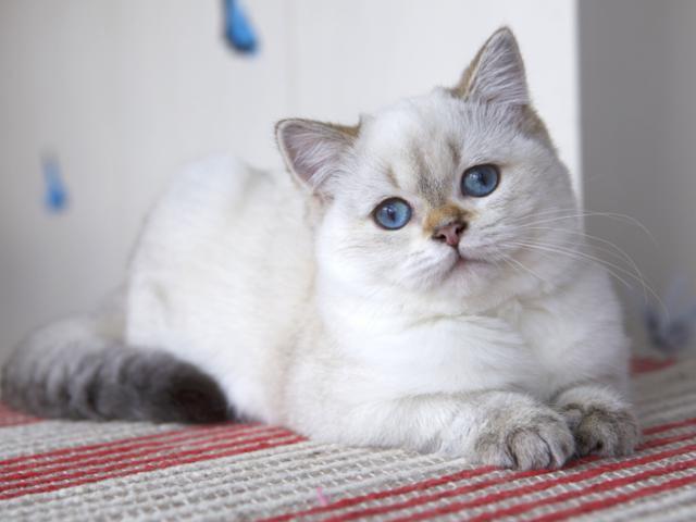 Продаю: Британские котята колор поинт синие глазки