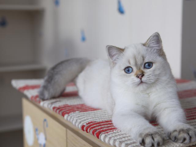 Продаю: Британские котята колор поинт синие глазки фото2