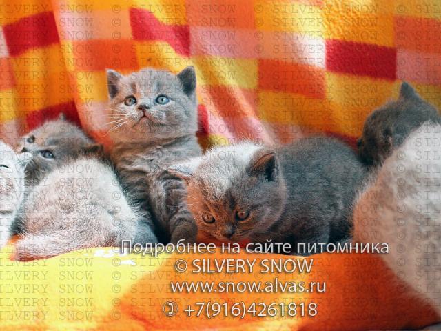Продаю: Голубые британские котята От Заводчика