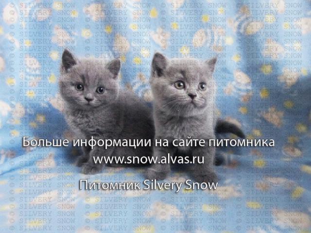 Продаю: Голубые британские котята От Заводчика фото2