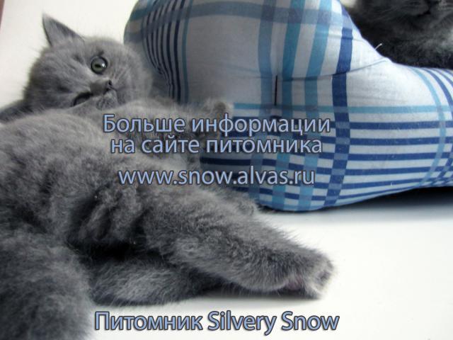 Продаю: Голубые британские котята От Заводчика фото3