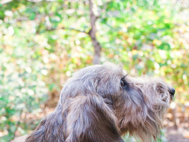 Продаю: Подрощенный щенок миниатюрной жесткошерстной таксы фото2
