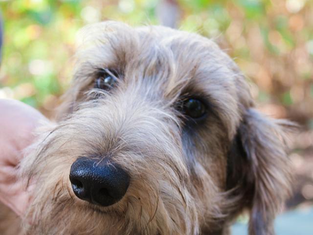Продаю: Подрощенный щенок миниатюрной жесткошерстной таксы фото3