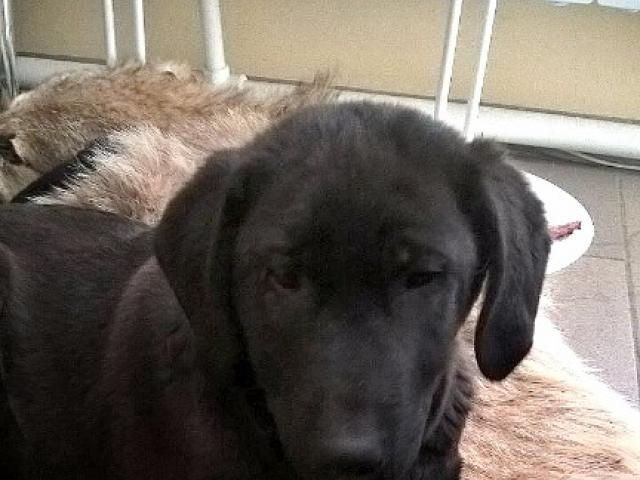 Отдам в дар: Красивый черный щенок в добрые руки