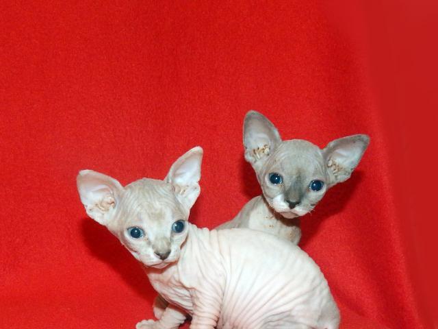 Продаю: котята породы Канадский сфинкс
