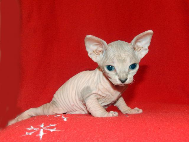 Продаю: котята породы Канадский сфинкс фото3