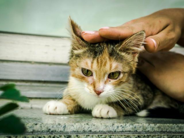 Отдам в дар: Молодая кошечка Дольче ищет дом фото2