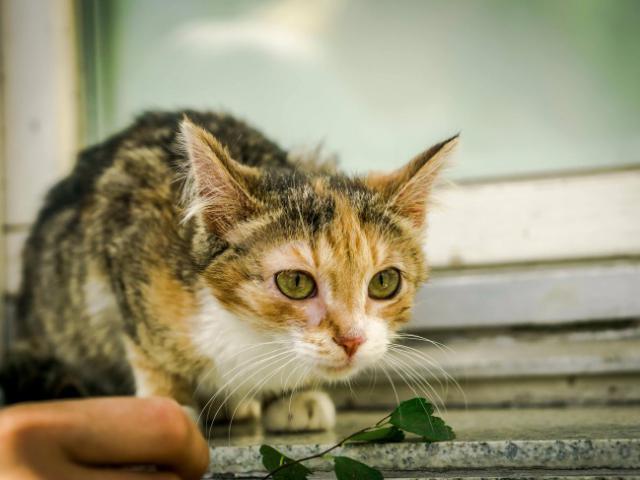 Отдам в дар: Молодая кошечка Дольче ищет дом фото3