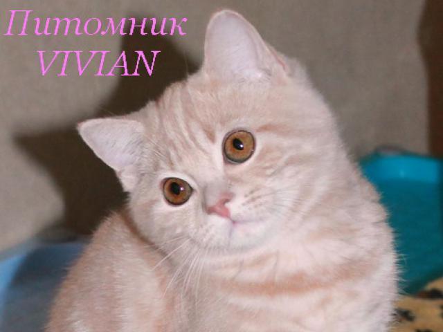 Продаю: Британские персиковые котята из питомника