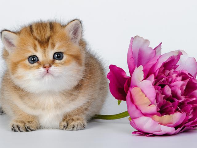 Продаю: Британские котята золотого окраса
