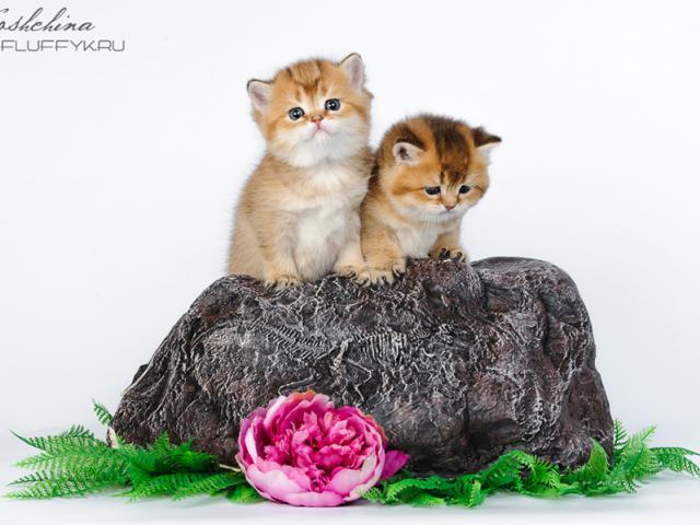 Продаю: Британские котята золотого окраса фото3