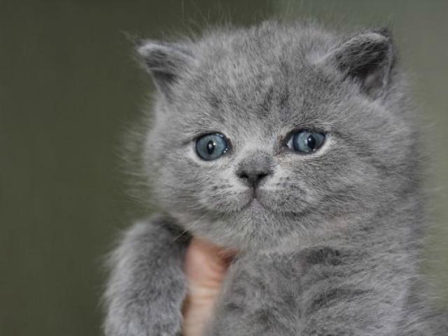 Продаю: британские котята голубые