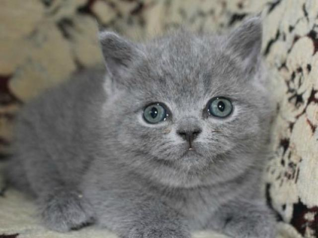 Продаю: британские котята голубые фото2