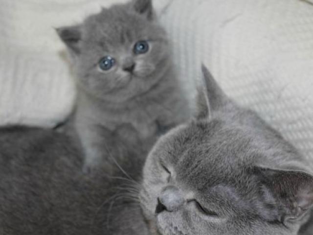 Продаю: британские котята голубые фото3