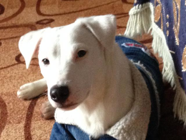 Продаю: Подрощенный щенок джек рассел терьера