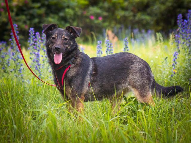Отдам в дар: Трепетная собака Варя в добрые руки фото3