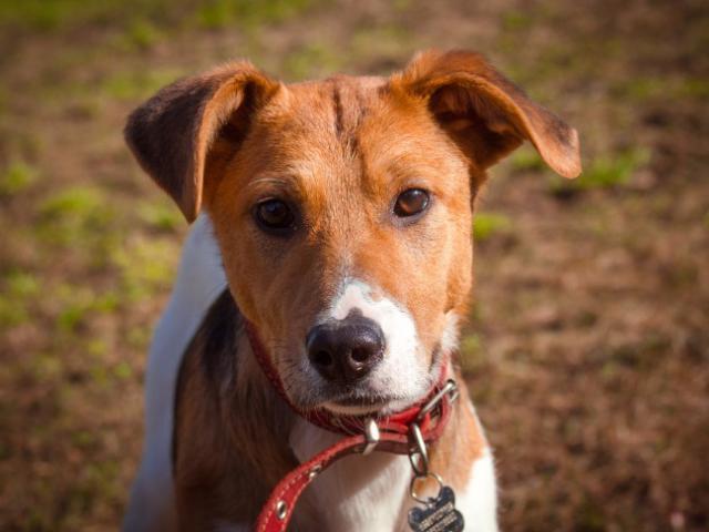 Отдам в дар: Самый милый щенок в добрые руки фото3