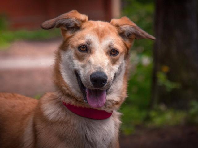 Отдам в дар: Изящная, красивая собака в добрые руки фото2