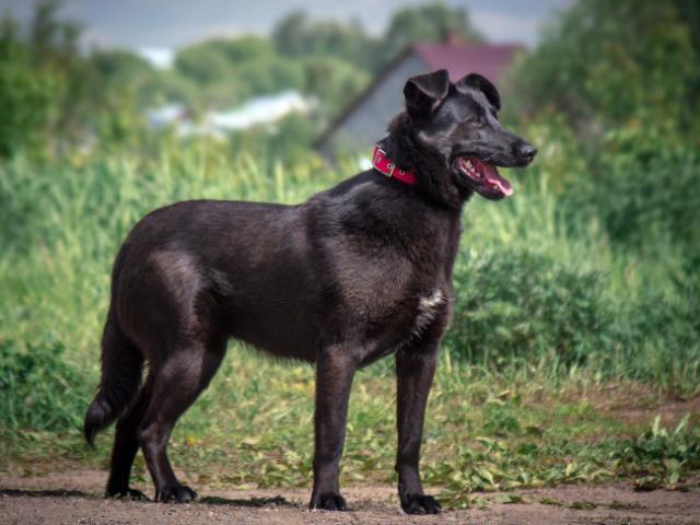 Отдам в дар: Чёрная собака в добрые руки фото3