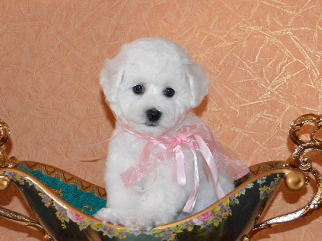 Продаю: Элитные щенки бишон фризе фото3