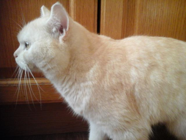 Вязка: Вязка с шотландским котом