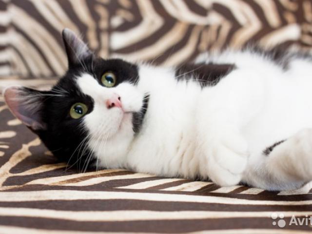 Отдам в дар: Чудесный кот Марсель ищет любящих хозяев фото3