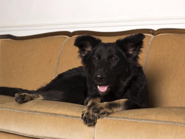 Отдам в дар: Молодая активная собака Честа в хорошие руки фото2