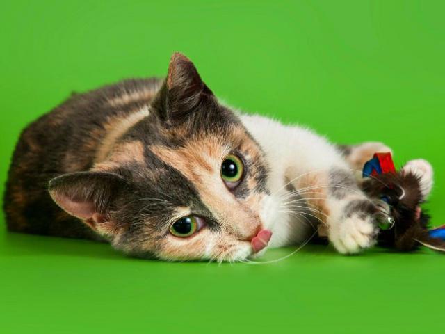 Отдам в дар: Котенок девочка Сури в добрые руки