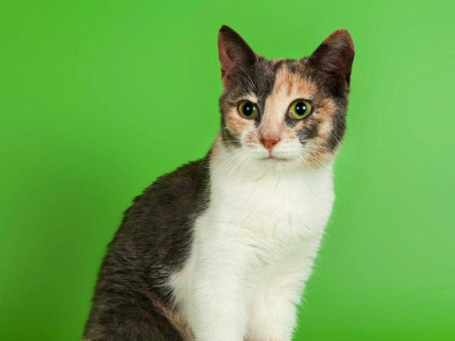 Отдам в дар: Котенок девочка Сури в добрые руки фото2