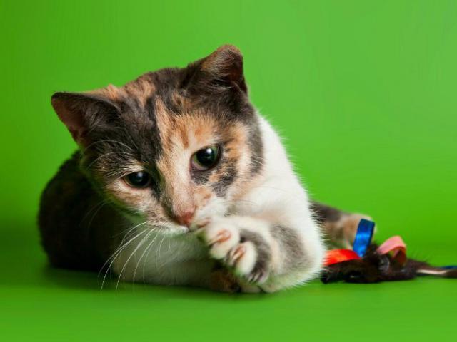 Отдам в дар: Котенок девочка Сури в добрые руки фото3