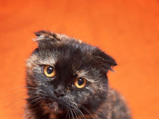 Отдам в дар: Вислоухая кошечка Соня в добрые руки фото3