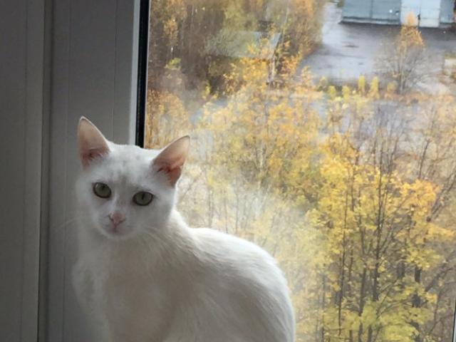 Отдам в дар: Кошечка Белочка в добрые руки, в дар фото3